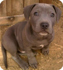 Labrador Retriever/Terrier (Unknown Type, Medium) Mix Puppy for adoption in Sacramento, California - Momma & Pups!