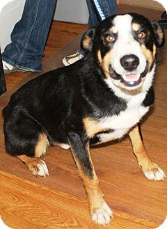 Border Collie/Australian Shepherd Mix Dog for adoption in Taylorsville, North Carolina - Jake