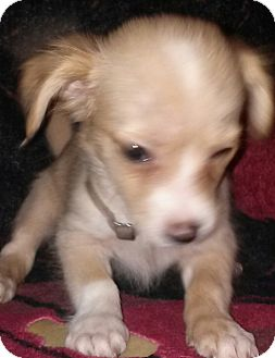 Maltese/Chihuahua Mix Puppy for adoption in Houston, Texas - DANI BOY