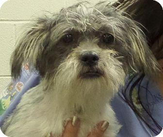Shih Tzu/Maltese Mix Puppy for adoption in Paris, Illinois - Truffle