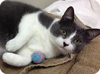 Domestic Shorthair Cat for adoption in Byron Center, Michigan - Lucky