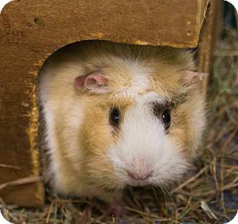 Guinea Pig for adoption in Lowell, Massachusetts - Bub & Phil