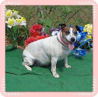 Jack Russell Terrier Mix Dog for adoption in Marietta, Georgia - NOG (R)