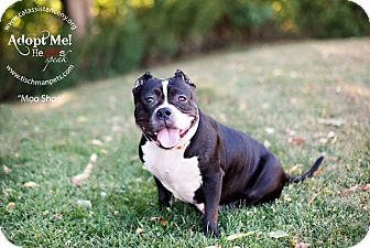 American Pit Bull Terrier Mix Dog for adoption in Ardsley, New York - Moo Shoo