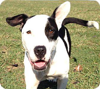 Bull Terrier/Border Collie Mix Dog for adoption in Lodi, California - Mattie