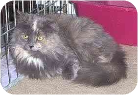 Domestic Longhair Cat for adoption in Pickering, Ontario - Buttercup