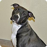 Adopt A Pet :: Leia - Port Washington, NY