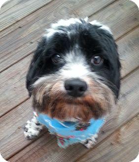 Cockapoo Dog for adoption in Chapel Hill, North Carolina - Chaps