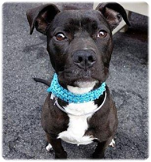 American Pit Bull Terrier Dog for adoption in Cherry Valley, New York - Noonie