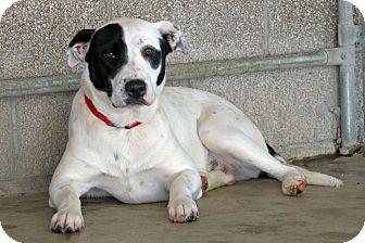 Dalmatian/Blue Heeler Mix Dog for adoption in Ruidoso, New Mexico - Riot