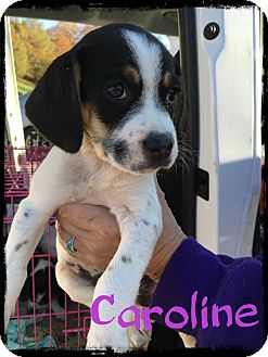 Beagle Mix Puppy for adoption in WESTMINSTER, Maryland - Caroline