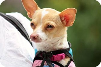 Chihuahua Mix Dog for adoption in Portland, Oregon - Bonnie
