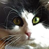 Domestic Mediumhair Cat for adoption in Woodland Hills, California - Douglas