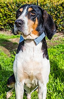 Treeing Walker Coonhound Dog for adoption in San Diego, California - Staccato