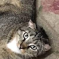 Adopt A Pet :: TABS! (unique ears!) Low fee - New Smyrna Beach, FL