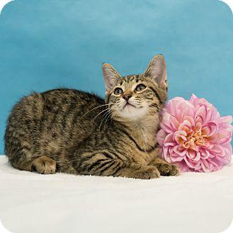 Domestic Shorthair Cat for adoption in Houston, Texas - Nova