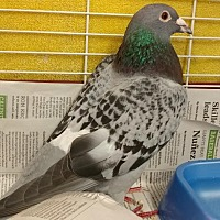 Adopt A Pet :: Meryl Cheep - Burlingame, CA