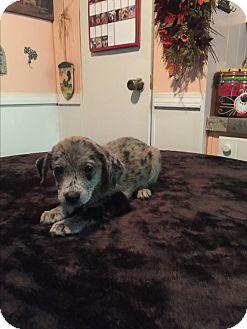 Catahoula Leopard Dog/Catahoula Leopard Dog Mix Puppy for adoption in Cranford, New Jersey - Allie