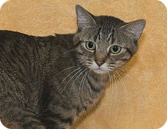 Domestic Shorthair Cat for adoption in Elmwood Park, New Jersey - Rory