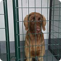 Adopt A Pet :: Copper - Ogden, UT
