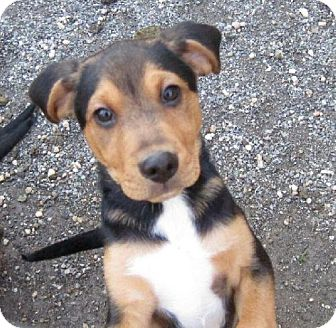Terrier (Unknown Type, Medium) Mix Puppy for adoption in Ashland, Virginia - Nate-ADOPTED!!!