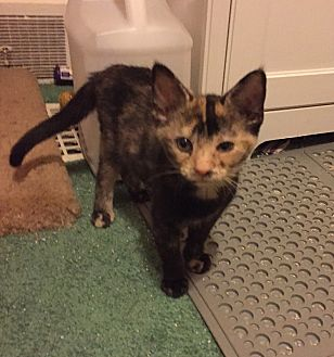 Calico Kitten for adoption in Barrington, New Jersey - Goldilocks