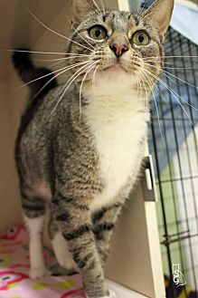 Domestic Shorthair Cat for adoption in Paris, Maine - Pinky