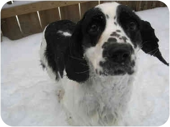 Cocker Spaniel Mix Dog for adoption in Mentor, Ohio - Cedric 2yr Adopted
