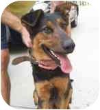 Doberman Pinscher/German Shepherd Dog Mix Dog for adoption in Los Angeles, California - Dart