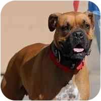 Boxer Dog for adoption in Denver, Colorado - Maverick