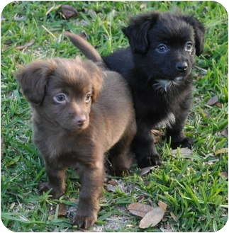 Chihuahua/Spaniel (Unknown Type) Mix Puppy for adoption in La Habra Heights, California - Smokey ( Precious Pooches)