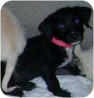 Terrier (Unknown Type, Medium) Mix Puppy for adoption in Phoenix, Arizona - Hazelnut - NUT puppies