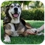 Photo 2 - Shepherd (Unknown Type)/Husky Mix Dog for adoption in Marina del Rey, California - CHUMLEE