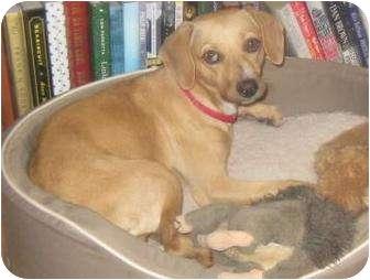 Italian Greyhound/Dachshund Mix Dog for adoption in Austin, Texas - Zoey