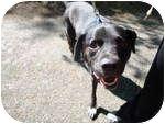 Labrador Retriever Mix Dog for adoption in Hanson, Massachusetts - Mitchell