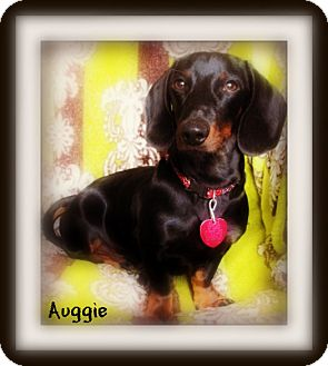 Dachshund Dog for adoption in Pascagoula, Mississippi - Auggie