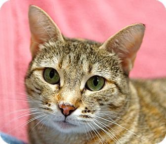 Domestic Shorthair Cat for adoption in Houston, Texas - Tabitha