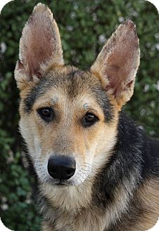 German Shepherd Dog Mix Puppy for adoption in Los Angeles, California - Wade von Wemding