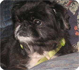 Pekingese Dog for adoption in Mays Landing, New Jersey - Mobely-MD