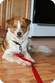 Sheltie, Shetland Sheepdog Mix Puppy for adoption in Hastings, New York - Sawyer Brown