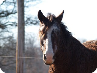 Curly Horse Mix for adoption in Marshfield, Vermont - Jim (aka T-Bar)