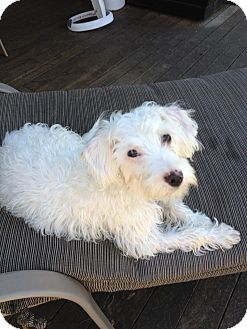 Terrier (Unknown Type, Small)/Poodle (Miniature) Mix Dog for adoption in Sheridan, Oregon - Diamond