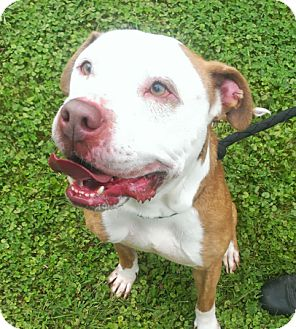 Hound (Unknown Type)/American Pit Bull Terrier Mix Dog for adoption in Berlin, Connecticut - Dex
