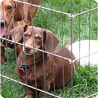 Adopt A Pet :: Lily - Killingworth, CT