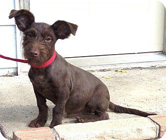 Schnauzer (Miniature)/Dachshund Mix Puppy for adoption in Minneapolis, Minnesota - Fudge