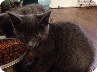 Domestic Shorthair Kitten for adoption in Greensburg, Pennsylvania - Ace
