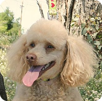 Poodle (Miniature) Dog for adoption in Walnut Creek, California - Frankie