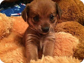 Spaniel (Unknown Type) Mix Puppy for adoption in Higley, Arizona - MISS SCARLETT