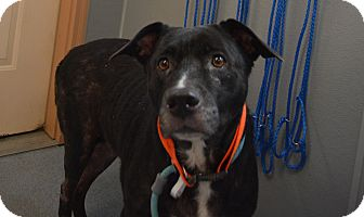 Pit Bull Terrier Mix Dog for adoption in Bay Shore, New York - Samantha