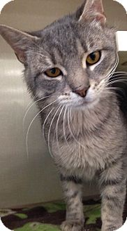 Domestic Shorthair Cat for adoption in Hillside, Illinois - Tommy - PET ME, CUDDLE ME